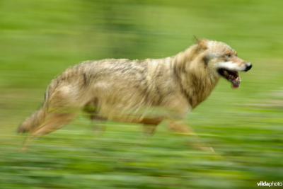 Wolf on the move - foto: Lars Soerink (Vilda)